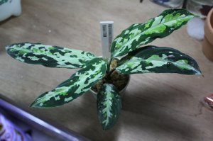 "画像4: Aglaonema pictum ""tricolor"" from Padang(白入り)(TB便) 【画像の超美麗大株!!】[7.11撮影]《AQUA☆STAR》"
