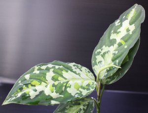 "画像1: Aglaonema pictum ""tricolor"" from Padang(白入り)(TB便) 【画像の美麗株】[10.28撮影]《AQUA☆STAR》"