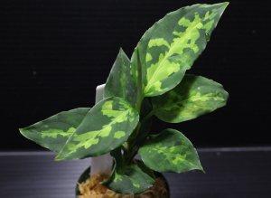 """画像1: Aglaonema pictum """"tricolor"""" from Pulau Nias class2 【画像の美麗中株】[5.23撮影]《cozyparaブリード》"""
