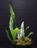 """[春のSale!!][蔵出しの品!!!]ミクロソリウム """"WAYANAD 2010"""" 【画像の株(高温多湿下で水上株)-その3】[6.25撮影]《cozyparaブリード》"""