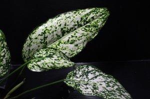 画像2: Aglaonema costatum 'Albo variegata'【画像の大株】[6.25撮影]《cozyparaブリード》