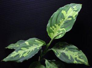 """画像1: [春のSale!!]Aglaonema pictum bicolor""""JCS-A"""" from Sumatera Barat(AZ1212-1)【画像の美麗大株】[9.13撮影]"""