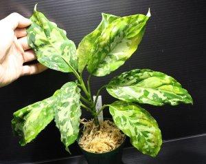 """画像2: [春のSale!!]Aglaonema pictum """"Gold-Rush II"""" from Sumatera Barat (AZ0113-4) 【画像の大株】[1.5撮影]"""