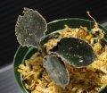 [秋のSale!!][漆黒の宝石蘭]Kuhlhasseltia javanica 【画像の株-その4】[8.29撮影]