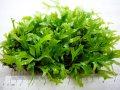 [激レア!!]Microsorum pteropus f. cristata 風変わりな獅子葉の小型ミクロソリウム!!【美麗株が5×7cmのステンレスマットに密に繁茂‐1マット】《JungleGem》