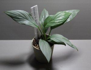"""画像1: Homalomena sp """"White leaf"""" Natuna【画像の美麗株-その2】[11.27撮影]《AQUA☆STAR》"""