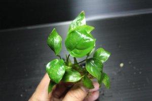 画像1: [激レア!!]Annubias barteri var.nana variegated / アヌビアスナナ斑入り[散り斑タイプ]【画像の株(水上管理)-その17】《JungleGem》5.9撮影