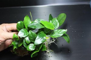 画像1: [激レア!!]Annubias barteri var.nana variegated / アヌビアスナナ斑入り[散り斑タイプ]【画像の美麗株(水上管理)-その12】《JungleGem》5.9撮影