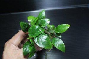 画像1: [激レア!!]Annubias barteri var.nana variegated / アヌビアスナナ斑入り[散り斑タイプ]【画像の美麗株(水上管理)-その5】《JungleGem》5.9撮影