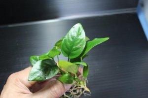 画像1: [激レア!!]Annubias barteri var.nana variegated / アヌビアスナナ斑入り[散り斑タイプ]【画像の株(水上管理)-その7】《JungleGem》5.9撮影