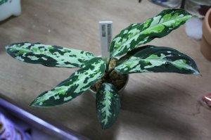 """画像4: Aglaonema pictum """"tricolor"""" from Padang(白入り)(TB便) 【画像の超美麗大株!!】[7.11撮影]《AQUA☆STAR》"""