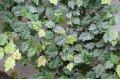 """[日本産ツル性植物]ヒメイタビ """"沖縄県ヤンバル産""""【成長点を含む約10cm-1本】"""
