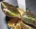 """[宝石蘭]Anoectochilus sp. (Anoectochilus kinabaluensis)""""Ranau"""" 【画像の株-その1】[2.7撮影]"""