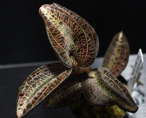 """画像1: [宝石蘭]Anoectochilus sp. (Anoectochilus lowii)""""Kota Belud"""" 【画像の株-その2】[8.18撮影]"""