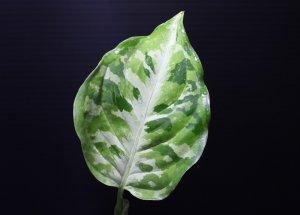 """画像1: Aglaonema pictum """"tricolor"""" from Thailand 2012【画像の美麗若株-葉の中央にホワイトラインが入るタイプ!!】《cozyparaブリード》[9.12撮影]"""