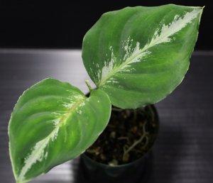 """画像1: Aglaonema pictum """"tricolor""""『 """"Padang Aro""""Kab.Solok selatan 【F産地:FW1311(マルチカラータイプ)】』(TB便)【画像の美麗小株】[9.28撮影]"""