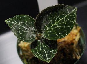 画像1: [宝石蘭]Anoectochilus formosanus 「キバナシュスラン」【画像の美麗株-その3】[11.23撮影]