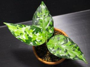 """画像1: Aglaonema pictum """"tricolor""""Andaman """"ポートブレア北部地域(出射便・C系統)""""【画像の美麗中株】[12.4撮影]"""