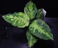 "Aglaonema pictum bicolor""JCS-A"" from Sumatera Barat(AZ1212-1)【画像の中株】[1.30撮影]"
