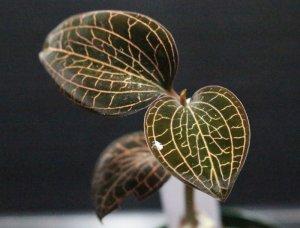 """画像1: [宝石蘭]Anoectochilus sp.(albolineatus)""""Ranau"""" 【画像の株-その2】[5.14撮影]"""