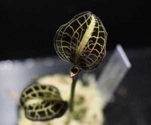 画像1: [宝石蘭Hybrid]Anoectochilus roxburghii×Anoectochilus siamensis 【画像の美麗株】[6.4撮影]