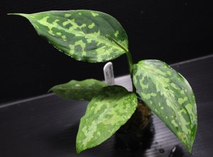 "画像1: Aglaonema pictum ""tricolor"" from Siberut 2nd 【画像の中株】《cozyparaブリード》[5.23撮影]"