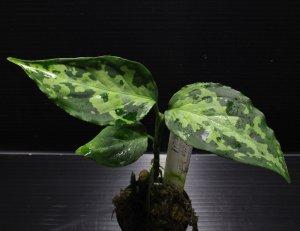 """画像1: Aglaonema pictum """"tricolor"""" from Siberut 2nd 【画像の美麗中株】《cozyparaブリード》[6.25撮影]"""