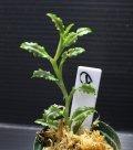 [宝石蘭]Malaxis commelinifolia 【画像の美麗株-その1】[6.25撮影] 《cozyparaブリード》