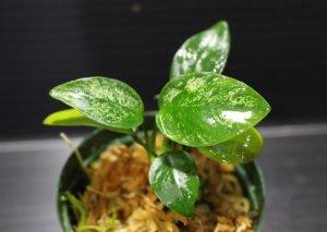 画像1: [激レア!!]Annubias barteri var.nana variegated / アヌビアスナナ斑入り[散り斑タイプ]【画像の美麗株(水上管理)】[6.25撮影]《cozyparaブリード》