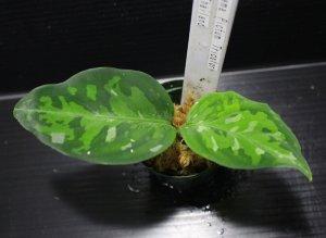 """画像1: Aglaonema pictum """"tricolor""""『元祖タイプ(Thailand 2010)』 【画像の美麗小株】[9.13撮影]"""