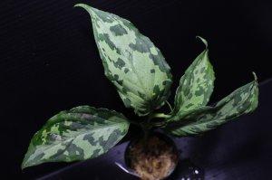 """画像1: Aglaonema pictum """"tricolor"""" from Siberut 2nd 【画像の美麗中株】《cozyparaブリード》[1.5撮影]"""