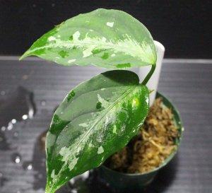 """画像1: [Sale!!]Aglaonema pictum tricolor """"しるば〜らいん"""" Aceh (LA0914-4m) 【画像の小株】[5.16撮影]"""